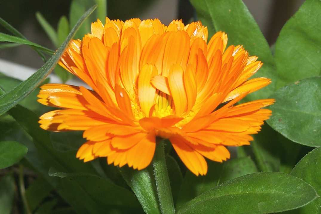 http://www.art.net/studios/hackers/strata/flowers/calendula-close.JPG