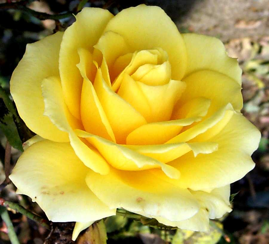 http://www.art.net/studios/hackers/strata/roses/great-yellow-rose-closeup-644.jpg