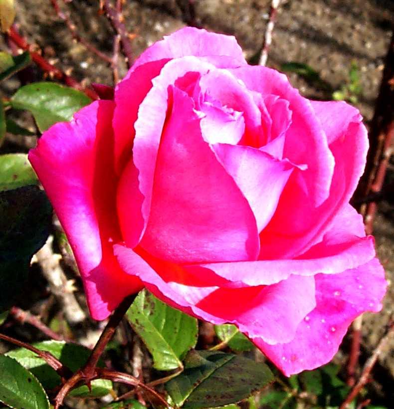 http://www.art.net/studios/hackers/strata/roses/pink-rose-great-closeup-651.