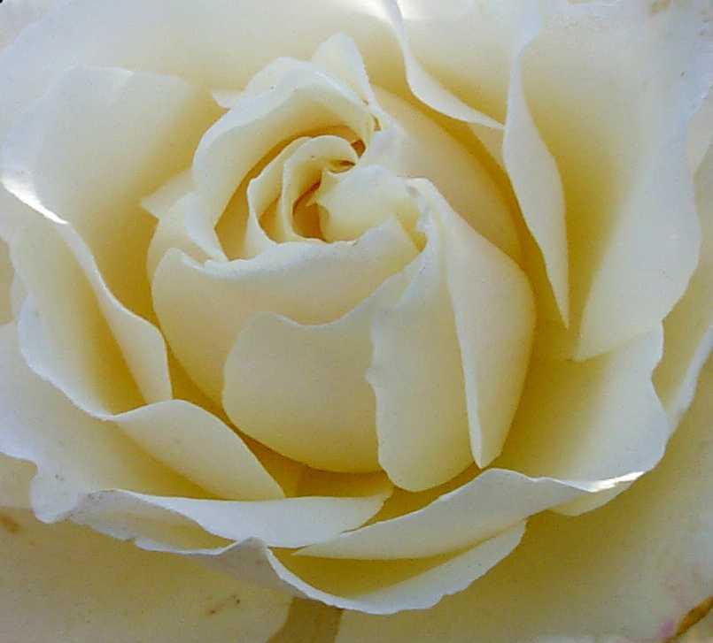 white-pale-rose-heart-636.jpg